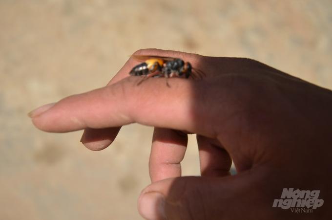 Bắc Giang: Ở đây có một nghề mới nghe nhiều người đã khiếp, nuôi ong kịch độc để lấy… thịt - Ảnh 5.