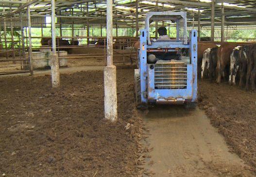 Long An: Cụ bà U80 mở trang trại nuôi bò lực sĩ kiếm việc cho thanh niên  - Ảnh 3.