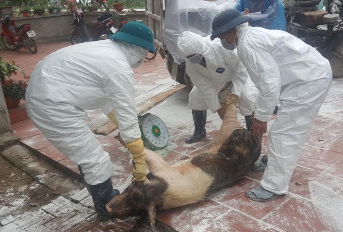 Thái Bình: Dịch tả lợn châu Phi tái phát - Ảnh 1.