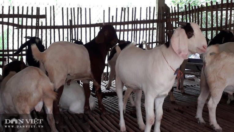 Thái Nguyên: Nuôi con tai dài tới mõm, vợ chồng lão nông kiếm trăm triệu đồng mỗi năm - Ảnh 4.