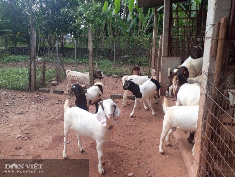 Thái Nguyên: Nuôi con tai dài tới mõm, vợ chồng lão nông kiếm trăm triệu đồng mỗi năm - Ảnh 5.