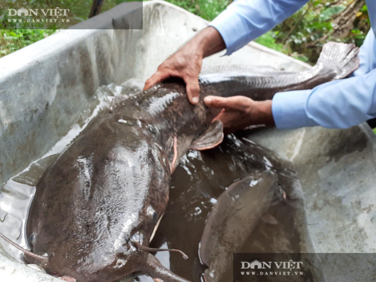 Người dân Hậu Giang bắt được cá trê dài 1 m, nặng 8 kg hiếm thấy - Ảnh 2.