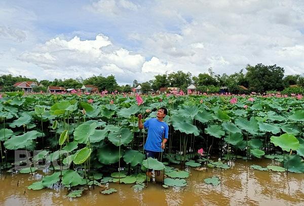 Bình Định: Bỏ cấy lúa, trồng loài cây lá to như cái thúng, chả tốn công chăm, hái thứ gì cũng bán được ra tiền - Ảnh 1.