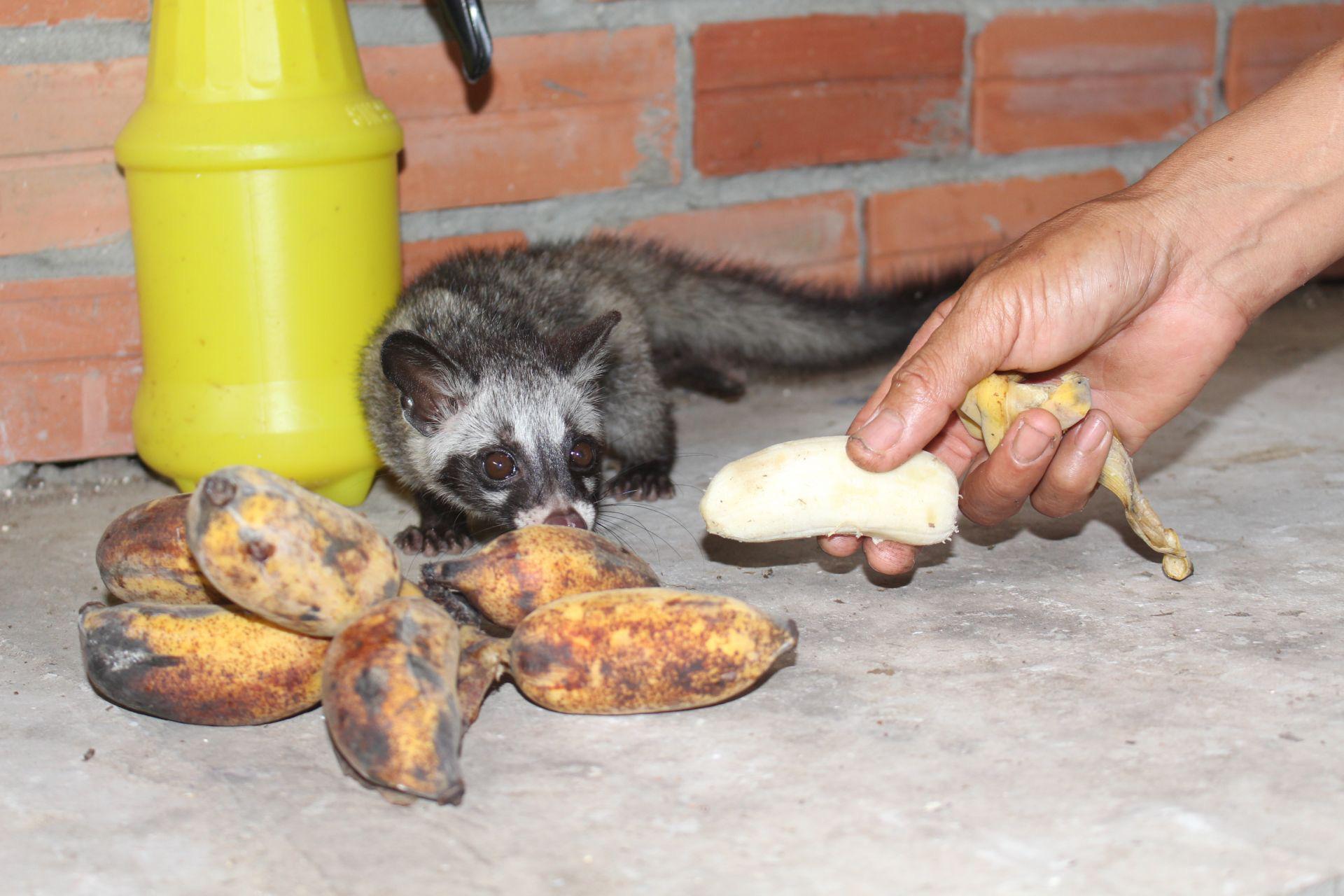 Nuôi loài thú trông như mèo mướp, bế trên tay mà miệng vẫn cố ngậm trái chuối, một nông dân tỉnh Tây Ninh khá giả - Ảnh 3.