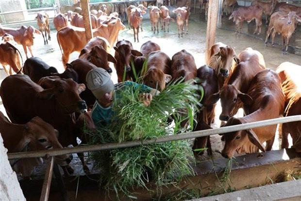 """Bò thịt, bê giống """"rủ nhau"""" tăng giá, nông dân tỉnh Bến Tre nuôi bò vỗ béo, nuôi bò siêu thịt ai cũng mừng - Ảnh 1."""