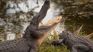 Cá sấu đực húc lật đổ thuyền và chặn đường không cho cô gái bơi vào bờ - Ảnh 1.