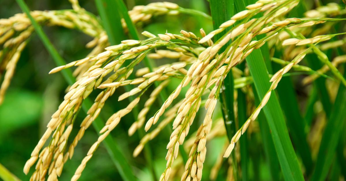 1 góc nhìn thực tế về tính an toàn của hạt gạo - Ảnh 1.
