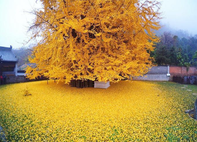 Bí ẩn cây ngân hạnh hơn 1.400 tuổi ở Trung Quốc - Ảnh 2.