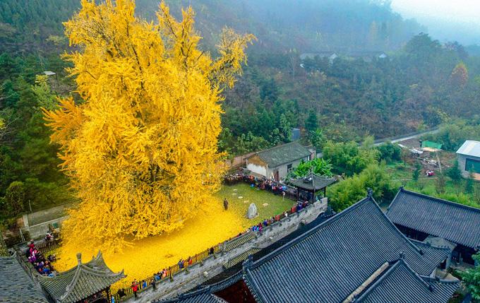 Bí ẩn cây ngân hạnh hơn 1.400 tuổi ở Trung Quốc - Ảnh 1.