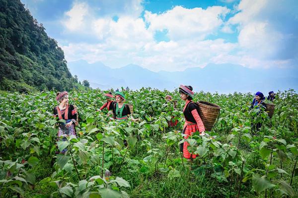 Lào Cai: Vùng đất trồng thứ cây kỳ lạ, nhổ 1 gốc lên cả chùm củ, tên là sâm mà bán rẻ như khoai lang - Ảnh 1.