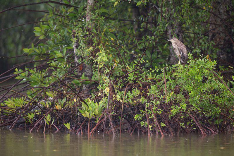 Tái sinh 150ha rừng ngập mặn tại Vườn Quốc gia Mũi Cà Mau - Ảnh 3.