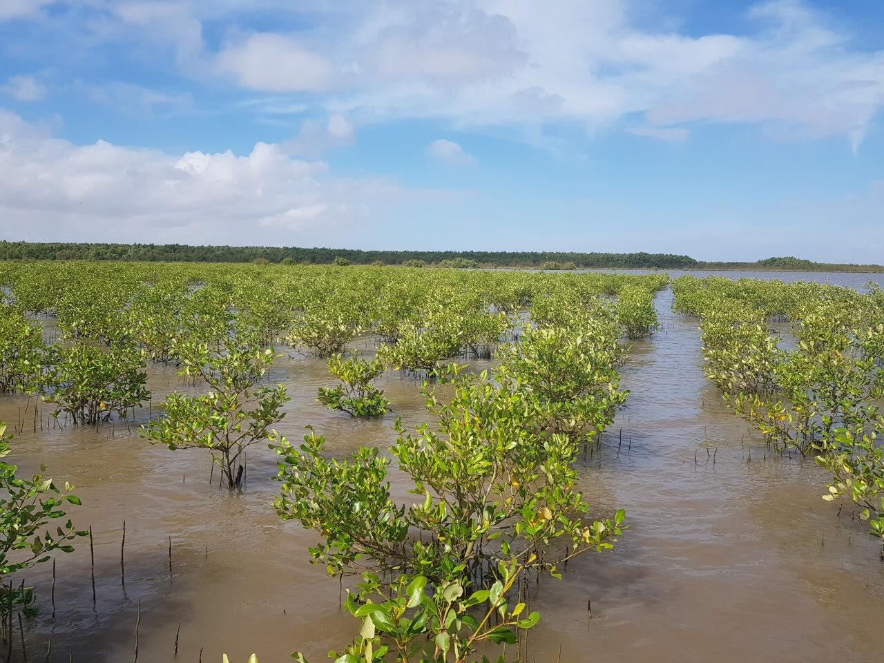 Tái sinh 150ha rừng ngập mặn tại Vườn Quốc gia Mũi Cà Mau - Ảnh 2.