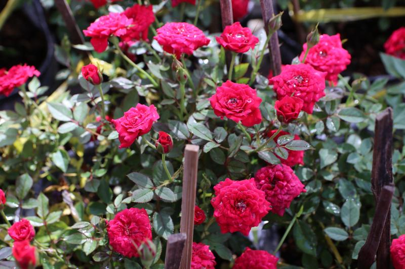Ai ngờ trồng 6 loại cây này có thể hóa giải phong thủy xấu ở ban công nhà bạn - Ảnh 7.