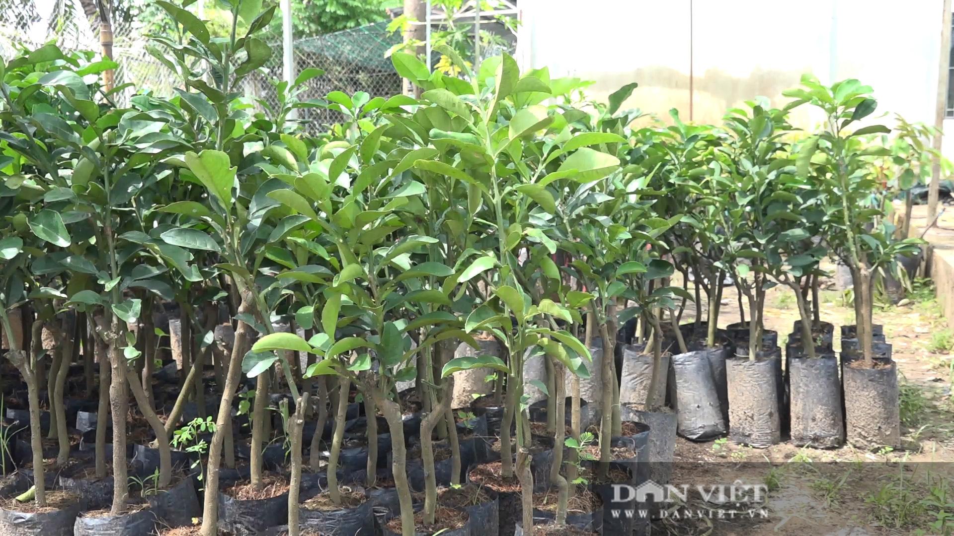 Hậu Giang: Người dân được giao giống bưởi Năm Roi nhưng trồng ra trái bưởi Lông Cổ Cò, đơn vị cung cấp giống xin lỗi - Ảnh 6.