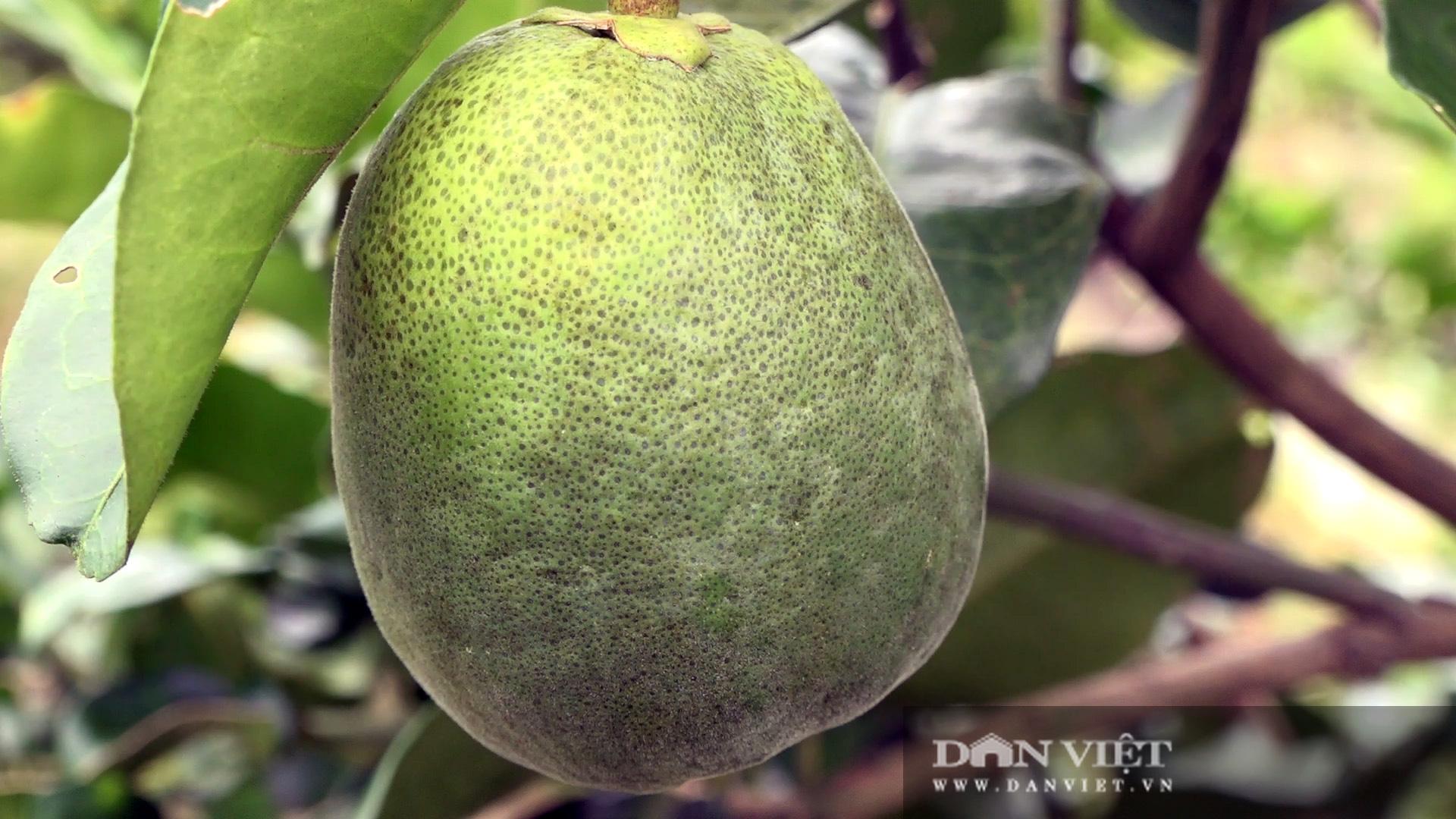 Hậu Giang: Người dân được giao giống bưởi Năm Roi nhưng trồng ra trái bưởi Lông Cổ Cò, đơn vị cung cấp giống xin lỗi - Ảnh 2.