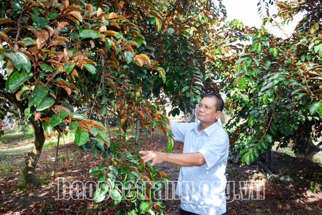 Sóc Trăng: Ở nơi này, nông dân giàu có nhờ trồng cây đặc sản bán trái ngon sang Mỹ - Ảnh 1.