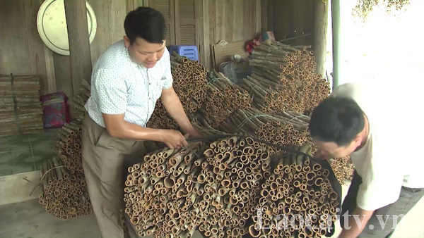 Lào Cai: Trồng thứ cây bán cả lá, cành lẫn vỏ, nông dân Bắc Hà thu gần 300 tỷ đồng - Ảnh 4.