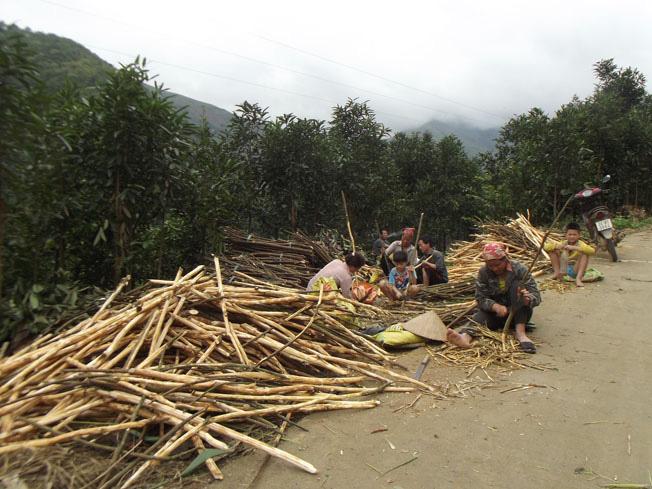 Lào Cai: Trồng thứ cây bán cả lá, cành lẫn vỏ, nông dân Bắc Hà thu gần 300 tỷ đồng - Ảnh 1.