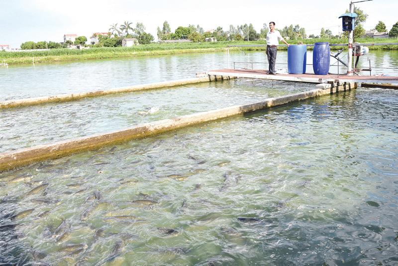Bắc Ninh: Nuôi cá dày đặc theo công nghệ sông trong ao, bắt cả chục tấn, toàn con to khỏe - Ảnh 1.