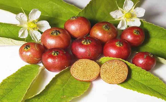 Không ngờ loại quả đường phố rụng đầy gốc cây lại là vị thuốc quý, được ví như nhân sâm - Ảnh 4.