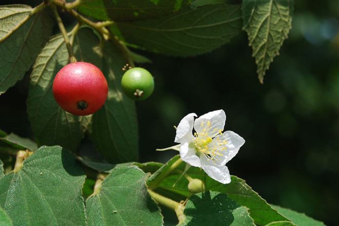 Không ngờ loại quả đường phố rụng đầy gốc cây lại là vị thuốc quý, được ví như nhân sâm - Ảnh 1.