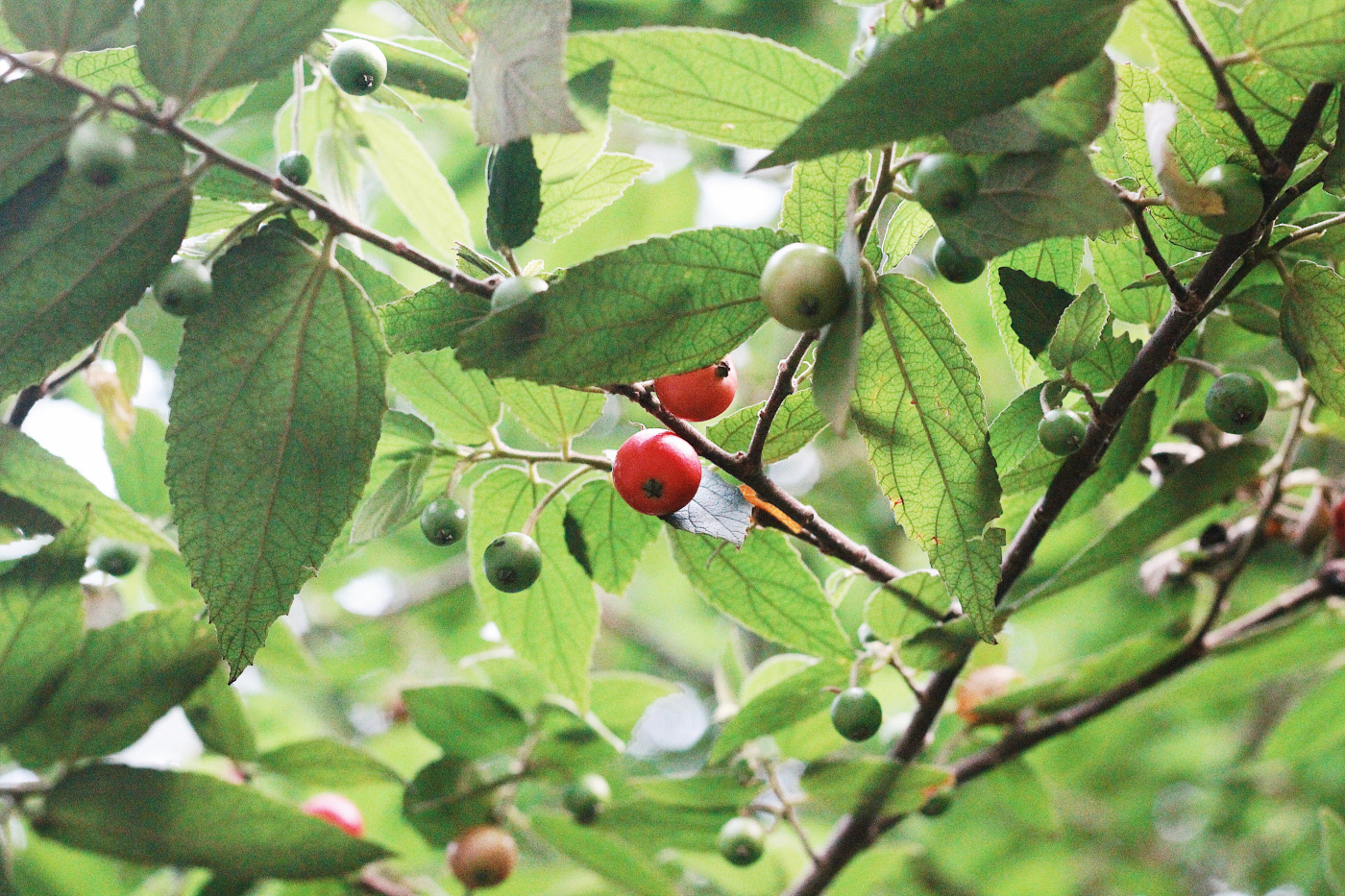 Không ngờ loại quả đường phố rụng đầy gốc cây lại là vị thuốc quý, được ví như nhân sâm - Ảnh 3.