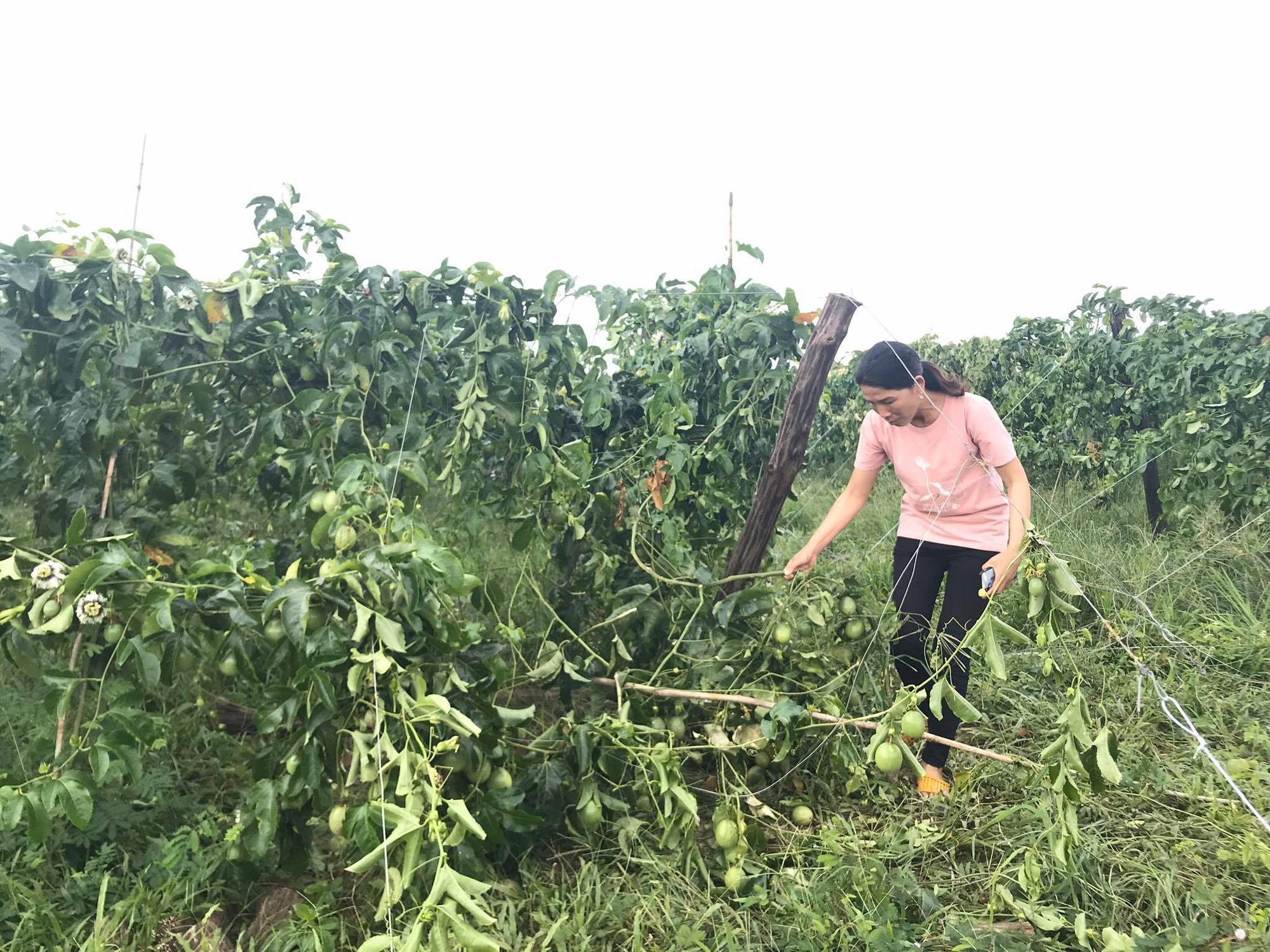 Vườn chanh dây 1,5ha bị phá hại tan tành trong đêm - Ảnh 1.