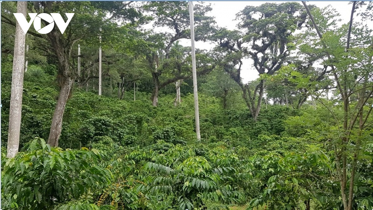 Đắk Lắk hướng tới sản xuất cà phê thông minh kết hợp phục hồi rừng - Ảnh 1.