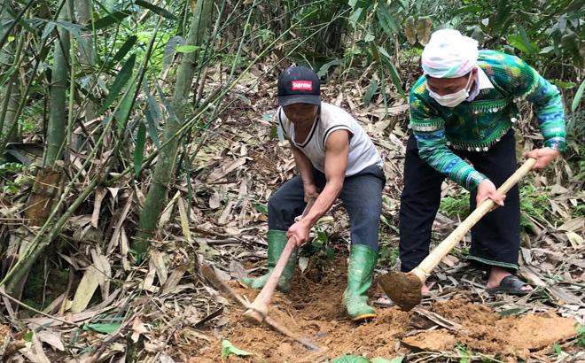 Xã nào của tỉnh Yên Bái chỉ trồng tre bán măng sang Nhật Bản, Đài Loan mà thu 35 tỷ đồng trong năm 2020? - Ảnh 2.