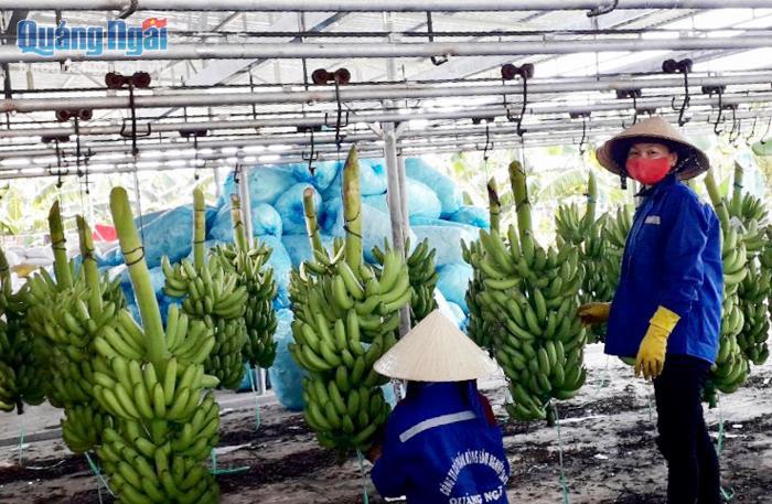 Quảng Ngãi thành công với mô hình xuất khẩu chuối Nam Mỹ - Ảnh 1.