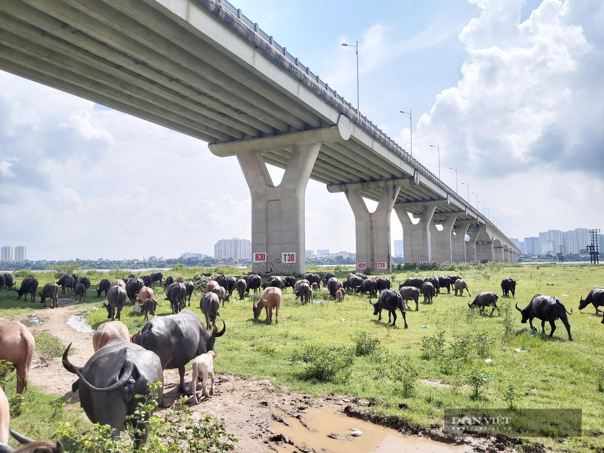 Hà Nội: Đàn trâu gần 200 con - Ảnh 1.