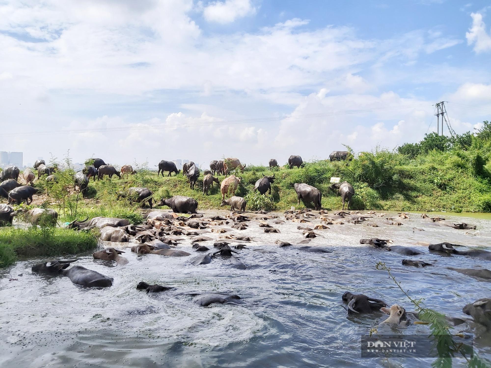 Hà Nội: Đàn trâu gần 200 con - Ảnh 10.