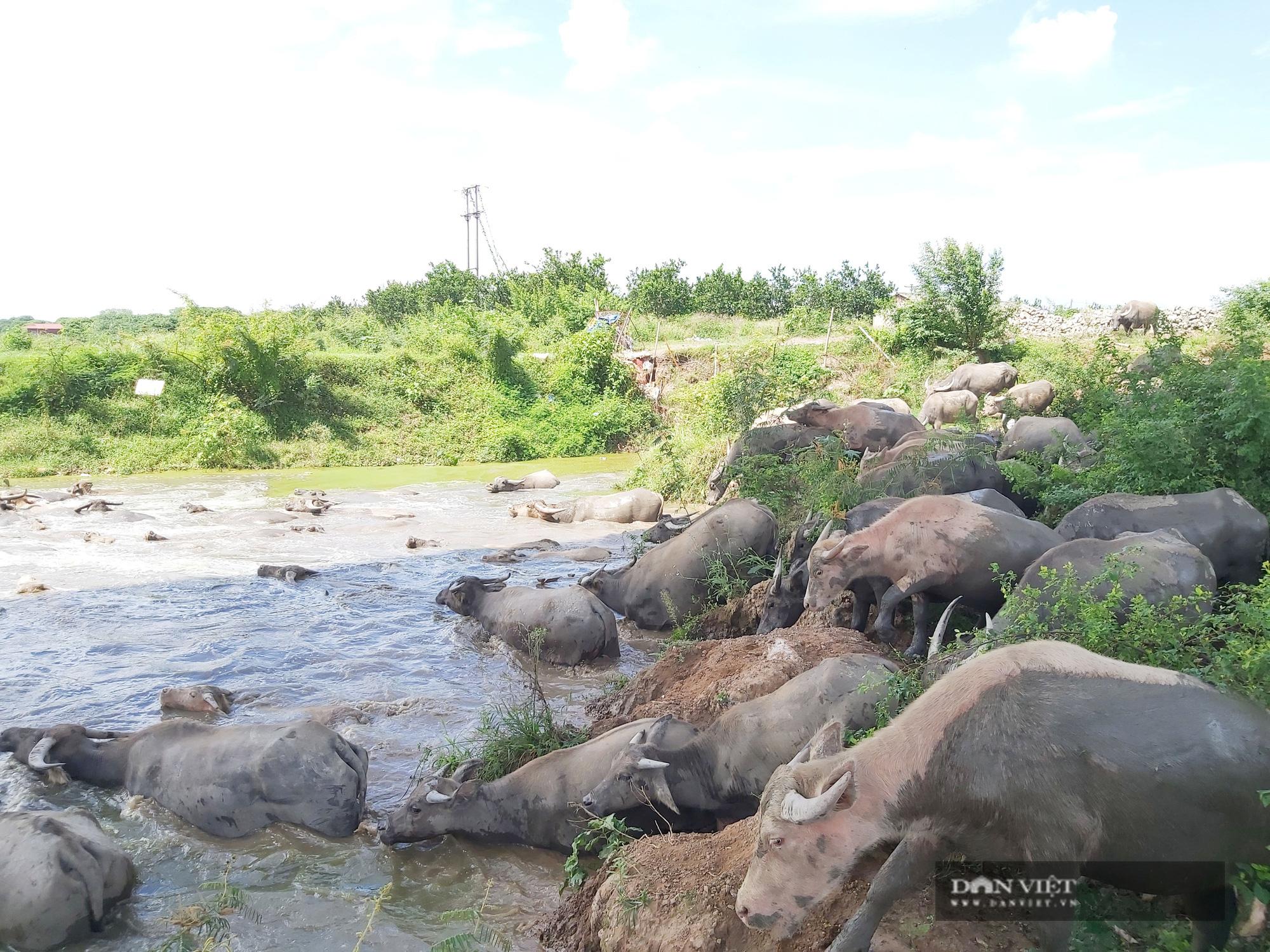 Hà Nội: Đàn trâu gần 200 con - Ảnh 9.