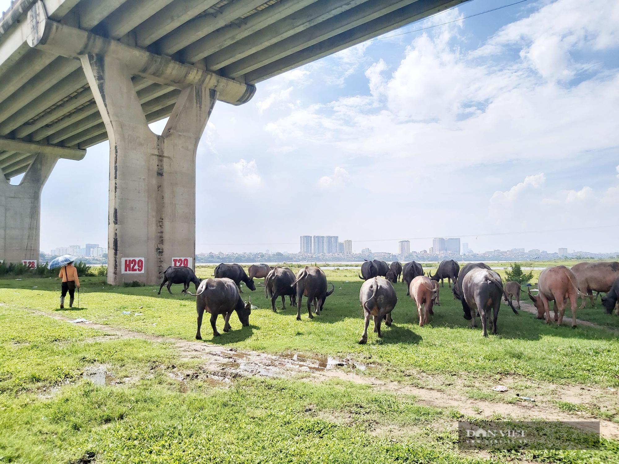 Hà Nội: Đàn trâu gần 200 con - Ảnh 8.