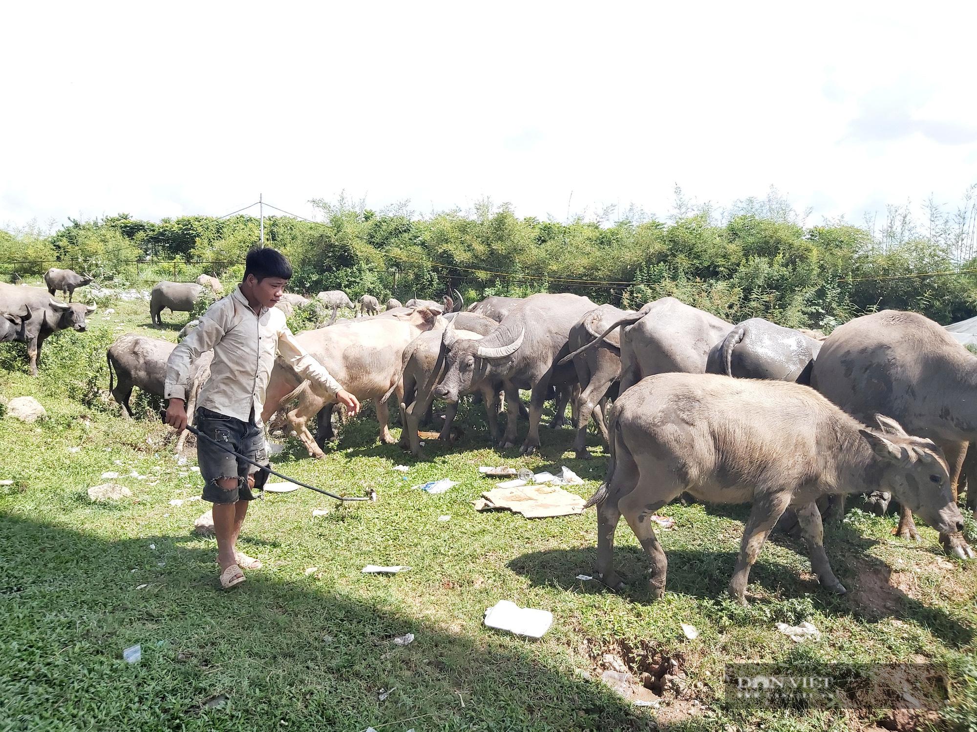 Hà Nội: Đàn trâu gần 200 con - Ảnh 7.
