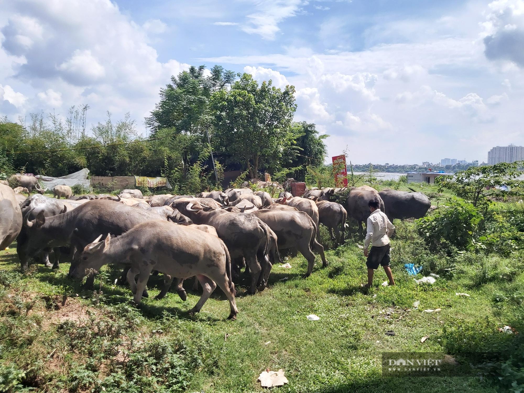 Hà Nội: Đàn trâu gần 200 con - Ảnh 2.