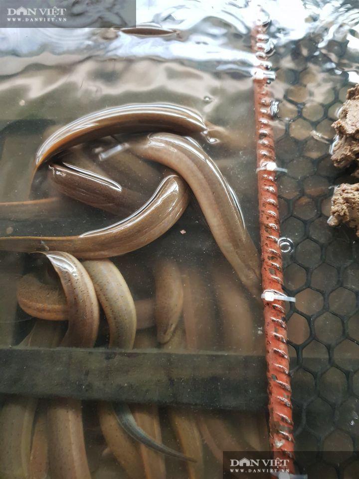 Đồng Tháp: Nông dân vào bể chứa đầy lươn to bự bắt lên bán đắt tiền, nhà nào nuôi lươn không bùn đều khá giả - Ảnh 5.