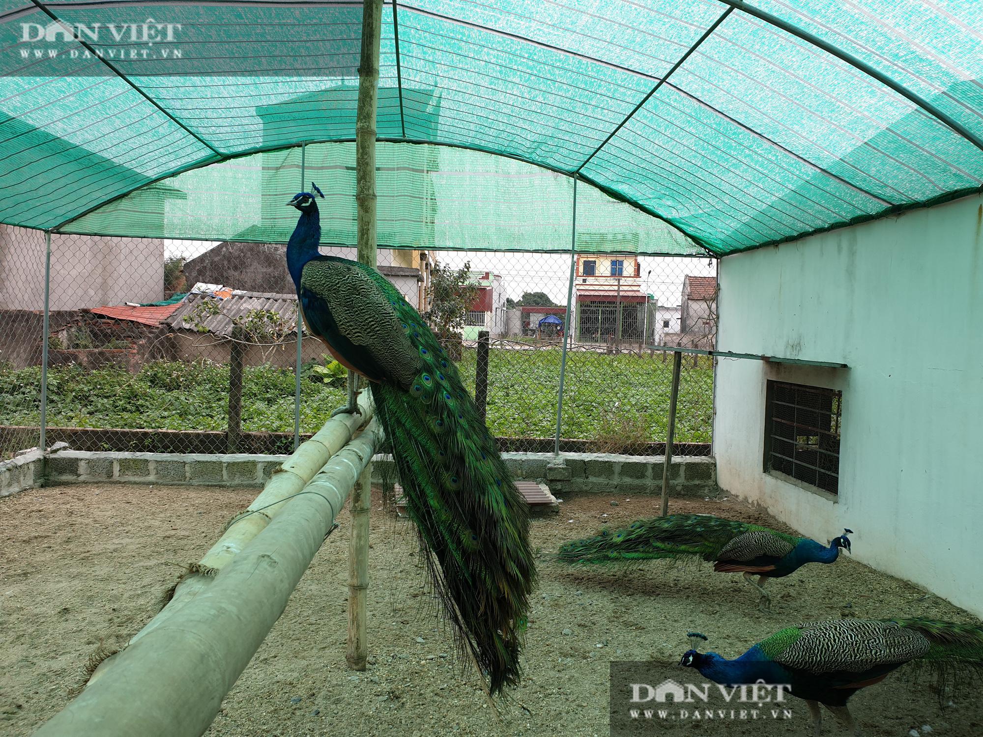 Nam Định: Nuôi đủ loại chim quý hiếm, lão nông đút túi trăm triệu mỗi năm. - Ảnh 3.