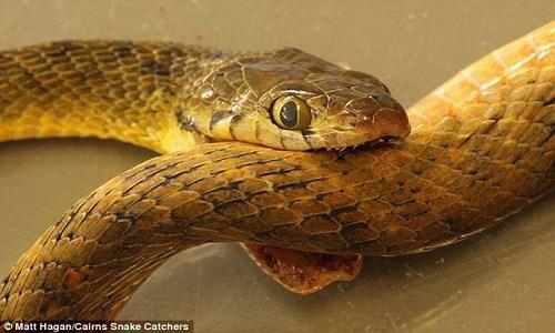 """Hóa ra đây là nguyên nhân khiến loài rắn """"ăn đuôi tự sát""""  - Ảnh 1."""