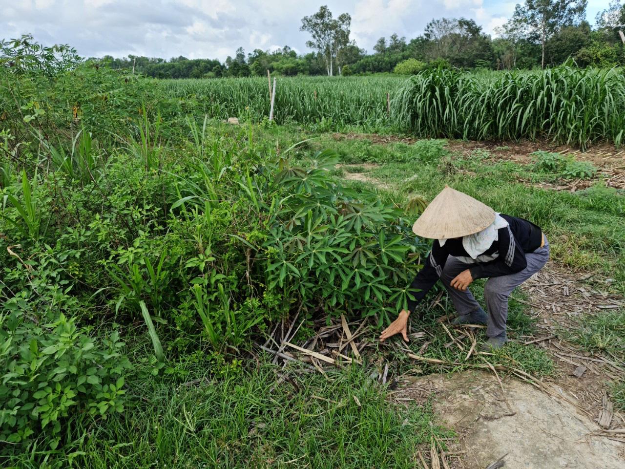 Quảng Nam: Kênh thủy lợi hàng trăm triệu đồng chỉ để chứa rác, trồng cỏ cho bò - Ảnh 4.