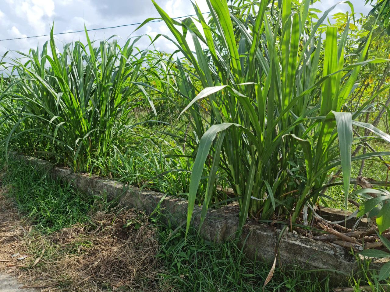 Quảng Nam: Kênh thủy lợi hàng trăm triệu đồng chỉ để chứa rác, trồng cỏ cho bò - Ảnh 6.