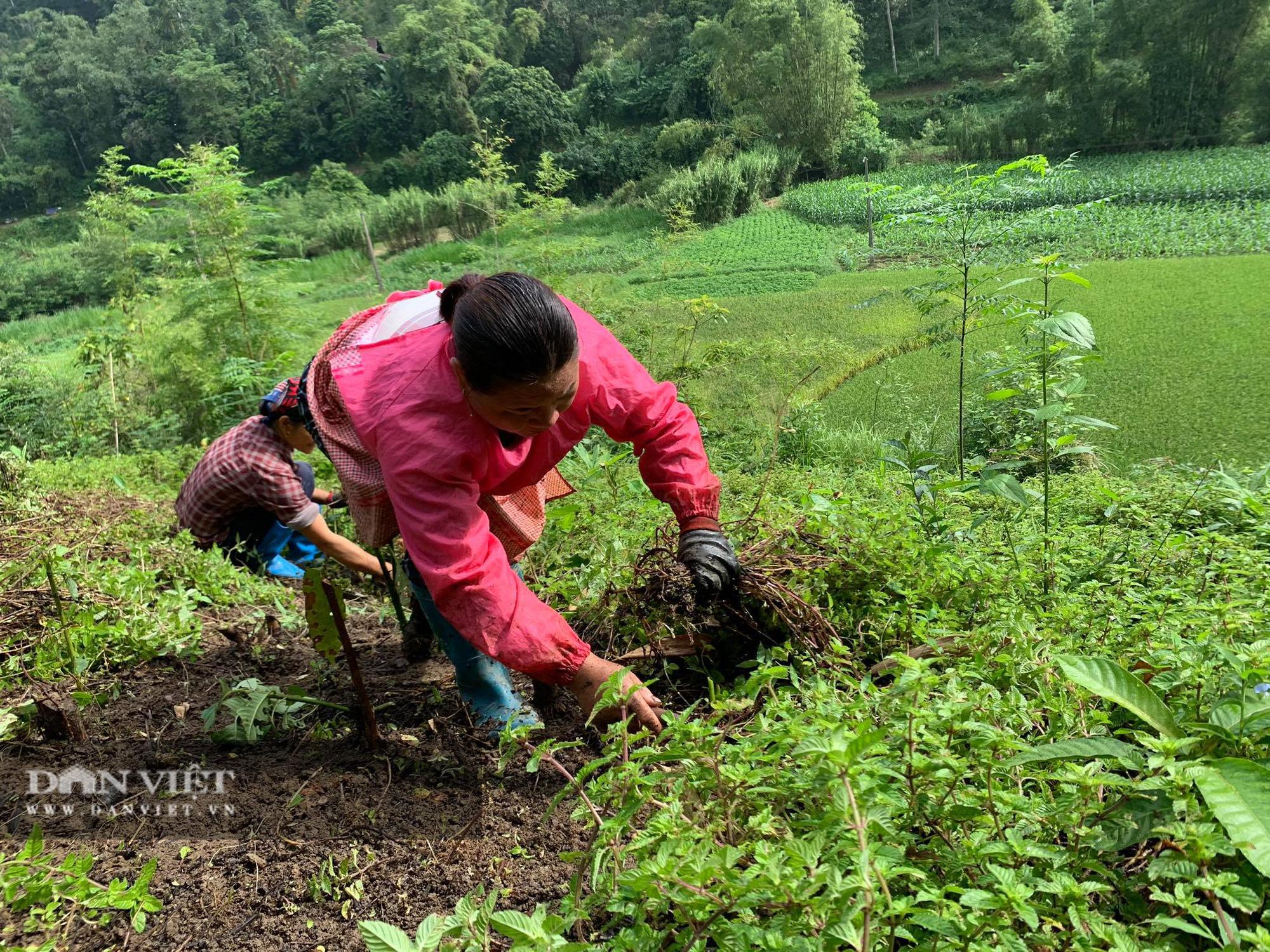 """Chỉ cần có mưa, người nông dân sẽ """"hái"""" ra tiền từ thứ cây này - Ảnh 3."""