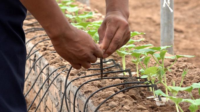 """3 năm đi làm cửu vạn không ăn thua, về nhà trồng dưa lưới thu 65 tấn quả """"hết veo trong 1 nốt nhạc"""" - Ảnh 4."""