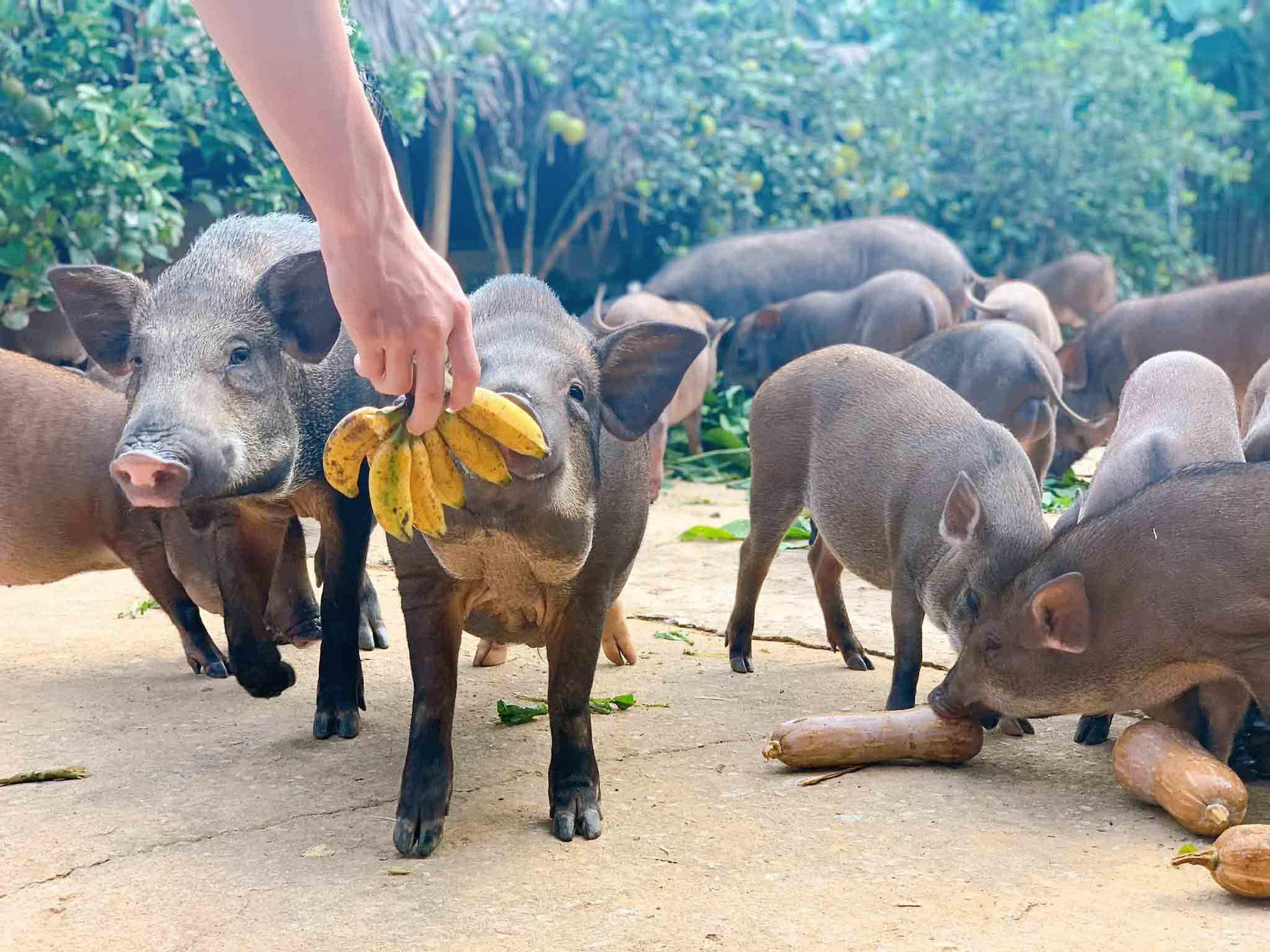 Đàn lợn rừng ăn dược liệu: Anh cán bộ xã thu tiền tỷ mỗi năm - Ảnh 3.