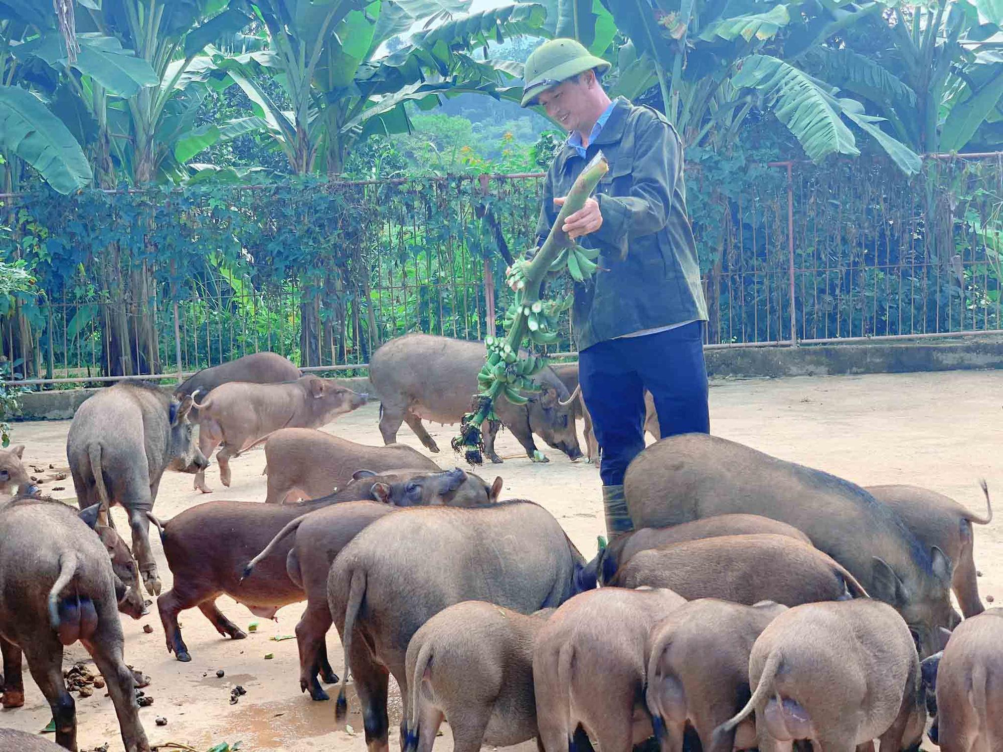 Đàn lợn rừng ăn dược liệu: Anh cán bộ xã thu tiền tỷ mỗi năm - Ảnh 1.