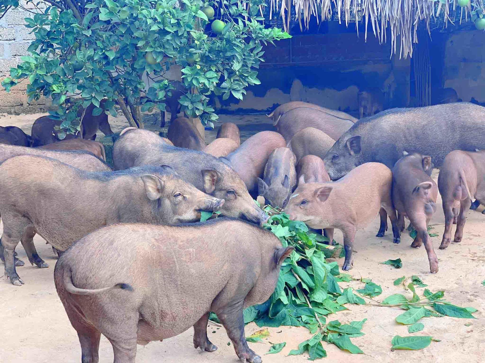 Đàn lợn rừng ăn dược liệu: Anh cán bộ xã thu tiền tỷ mỗi năm - Ảnh 2.