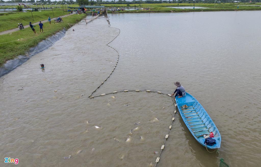 Giá cá tra lao dốc, người nuôi lỗ nặng - Ảnh 9.