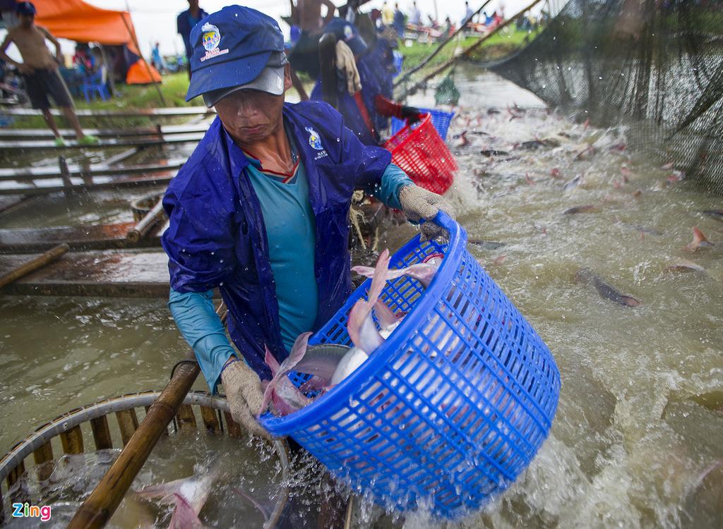 Giá cá tra lao dốc, người nuôi lỗ nặng - Ảnh 2.
