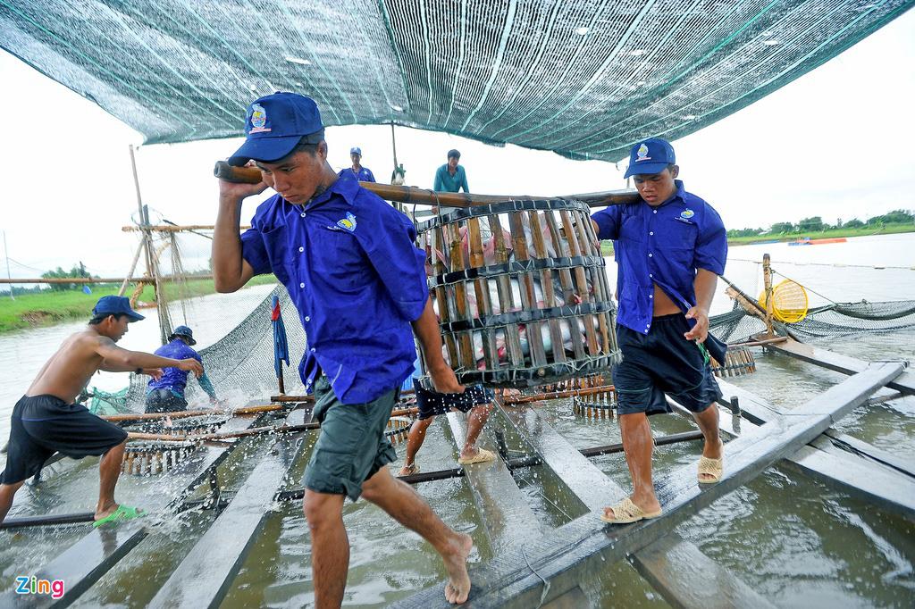 Giá cá tra lao dốc, người nuôi lỗ nặng - Ảnh 5.