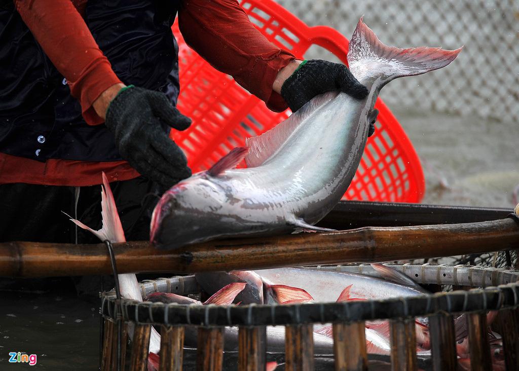 Giá cá tra lao dốc, người nuôi lỗ nặng - Ảnh 3.